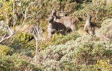 Tahr control operations